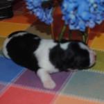 Baby Belle- 1 week